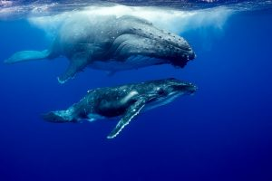 Watchful Eye, mother and calf humpback whale